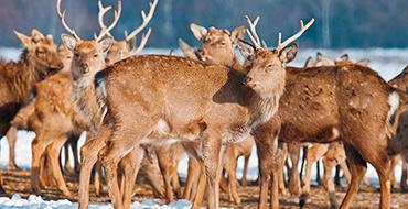 deer9
