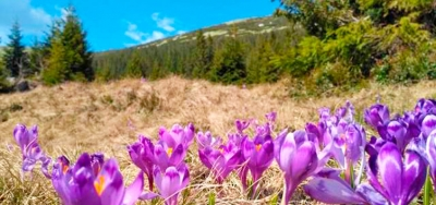 Saffron tour. May Carpathians