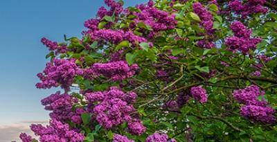 The Poltava lilac. Poltava - Dikanka