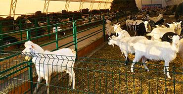 svyatogorskayz koza 01 370