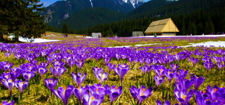 Saffron Paradise. In the Valley of Crocuses for the fulfillment of desires