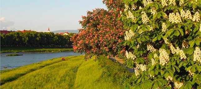 Blossoming Transcarpathia. Valley of daffodils, crocuses and sakura