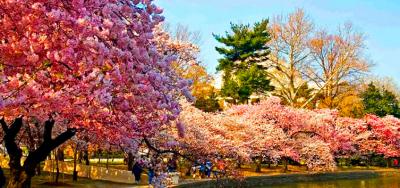 Wiosenny zapach Zakarpacia + kwiat sakury!