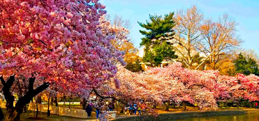 Spring aroma of Transcarpathia + sakura blossom!