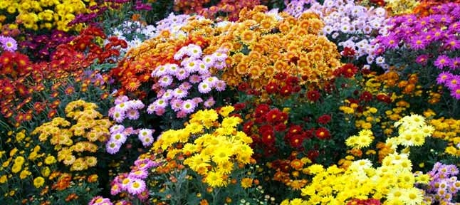 Ball of chrysanthemums. 2 days in the autumn Crimea