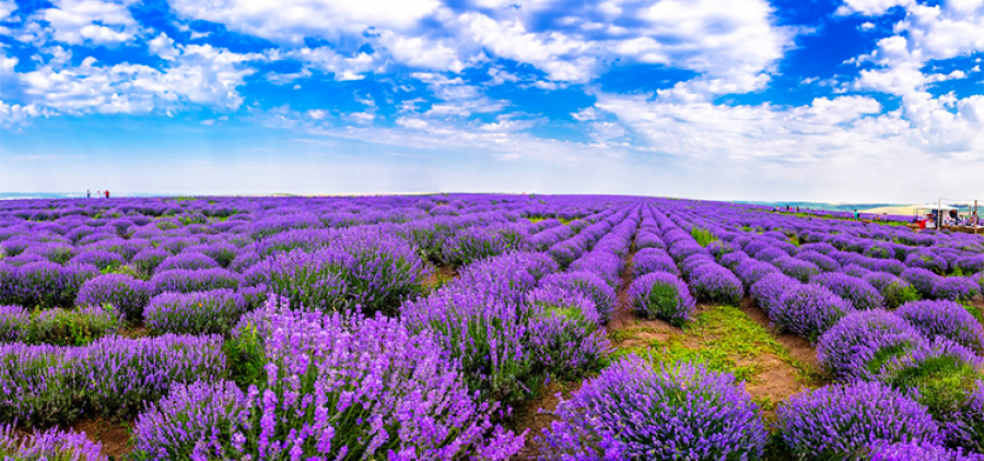 Provence and exotic. Lavender field + Kitsevo desert
