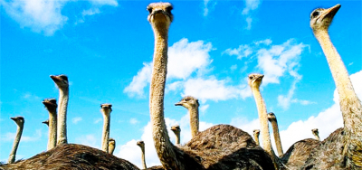 Birds are giants. Ostrich farm